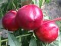 陕西中油12号早熟油桃