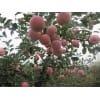 红富士苹果供应中心价格行情