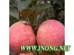 红富士苹果大量出售中