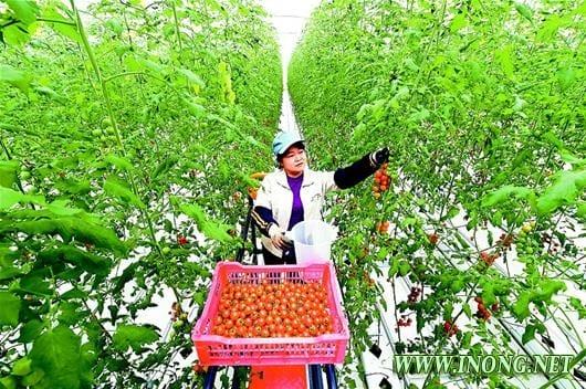 现代农业科技示范园区无土种植番茄