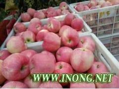 批发红星苹果/红将军苹果产地价格