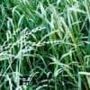 优质多高产多年生黑麦草种子 济南牧草种子