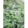 高钙牧草 俄罗斯饲料菜 每亩3万公斤牧草种子