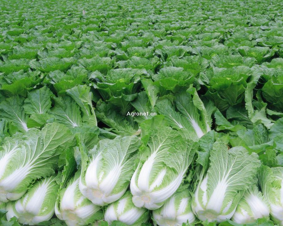 北京三号白菜大量上市