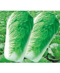 新三号白菜已大量上市,价格在0.4--0.5元/斤!