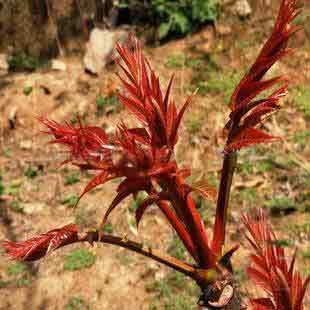 红油香椿种籽