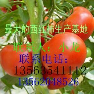 山东聊城莘县黄瓜西红柿大量上市