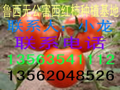 最大的西红柿黄瓜供应基地现已大量上市
