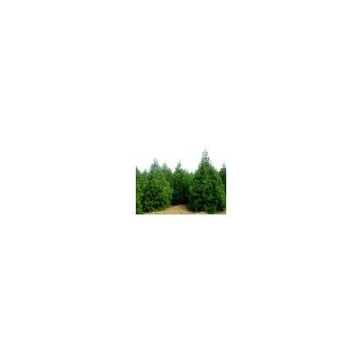 1-5米白皮松价格·1-5米白皮松种植基地·白皮松产地供应