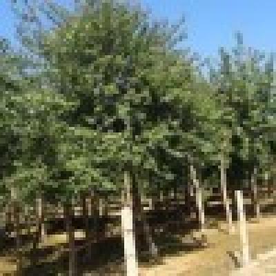 出售油松_油松松报价_欢迎咨询_专做园林绿化苗木