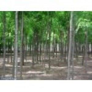 刺槐苗木、荒山造林苗木刺槐供应商、运城春秋园林