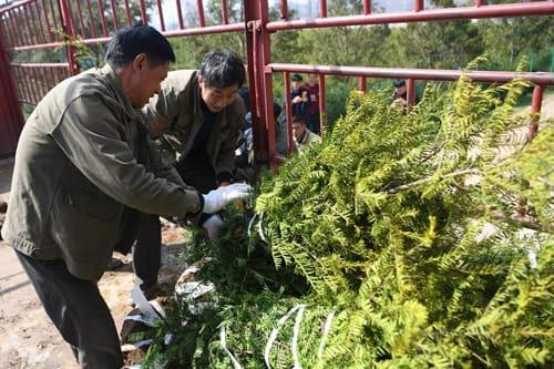 甘肃省陇南市:苗木栽植 绿色富民