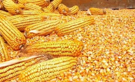 玉米最新市场价格;汉江收购玉米;实力厂家