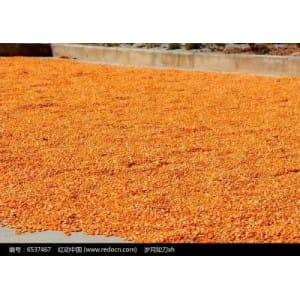 玉米价格行情/汉江高价收购玉米/在线咨询