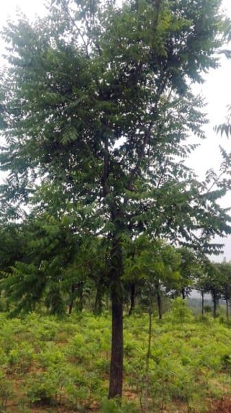 供应米径6-20公分栾树