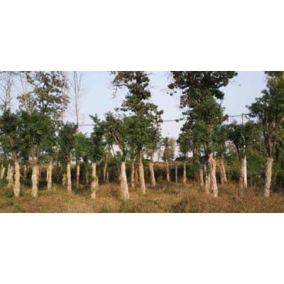 供应米径4-15公分国槐