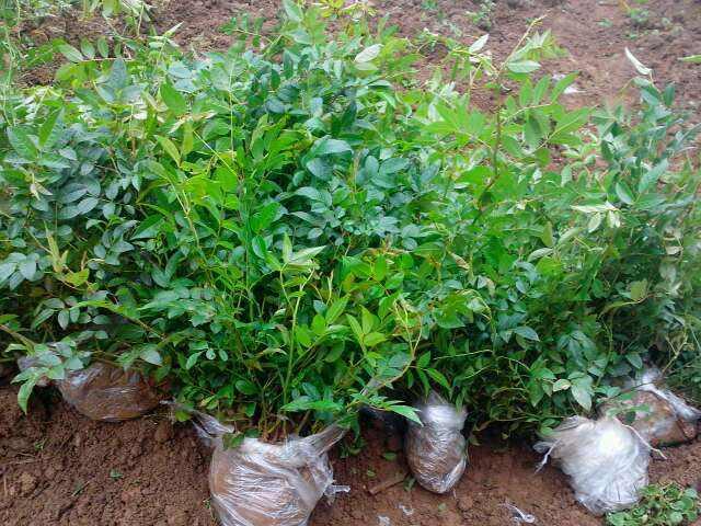 刺梨苗、三年生刺梨苗批发基地、农业种植、爱农网
