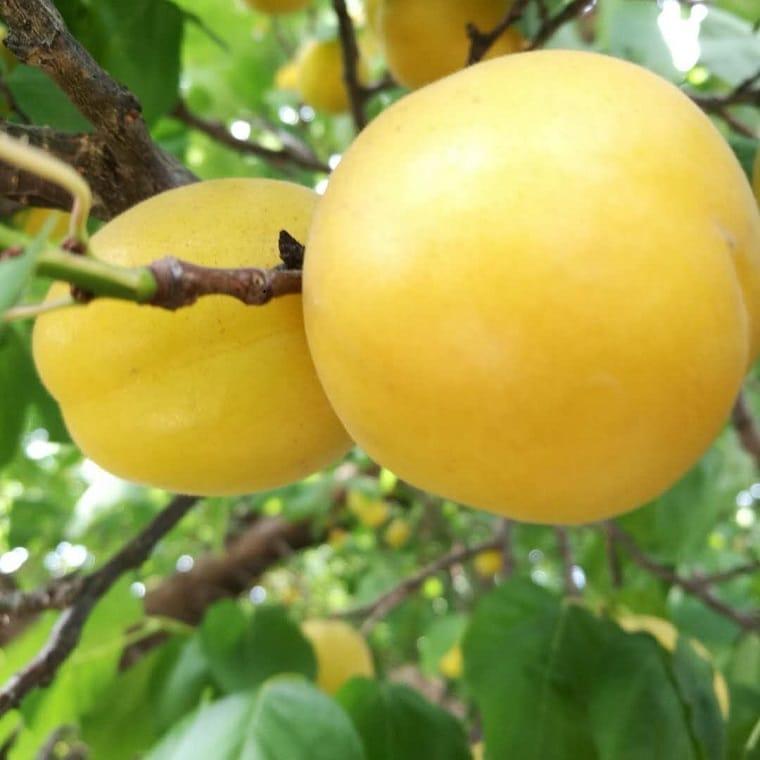 供应杏树苗品种香蜜杏苗价格