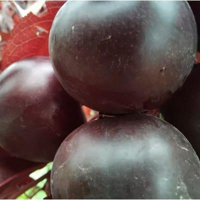 钙果苗品种紫冠钙果苗批发