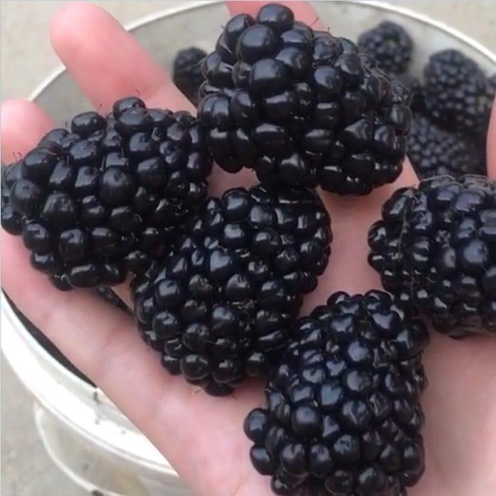 黑莓苗种植 潍坊黑莓树苗价格