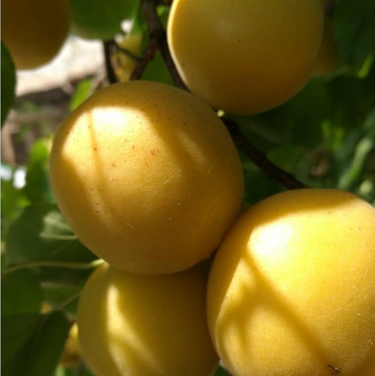 新品种杏树苗香蜜杏