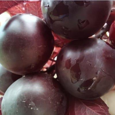 新品种欧李苗黑钙果