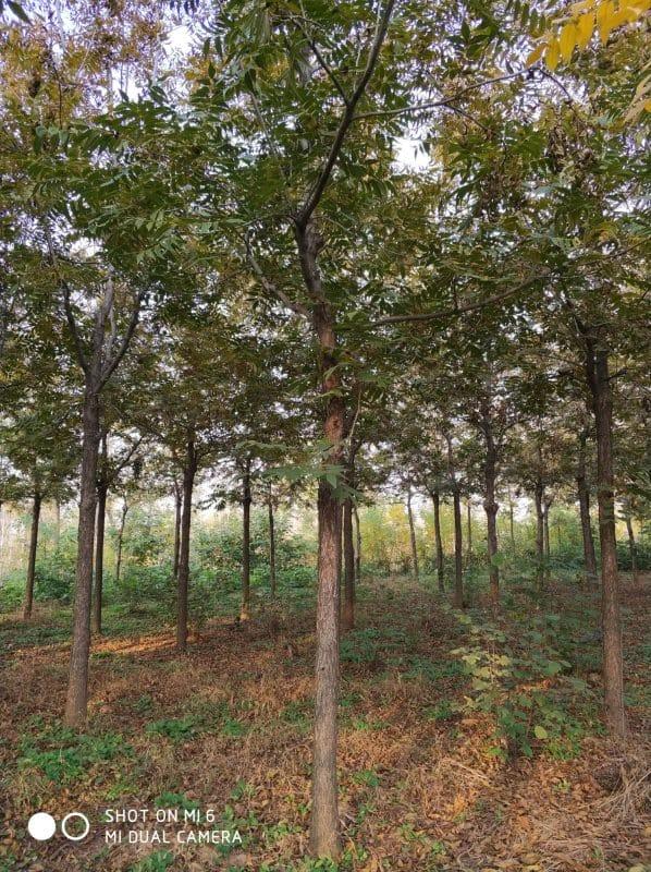 供应米径3-15公分美国山核桃树