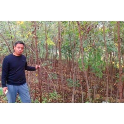 供应米径2-5公分栾树11万棵2020-2021