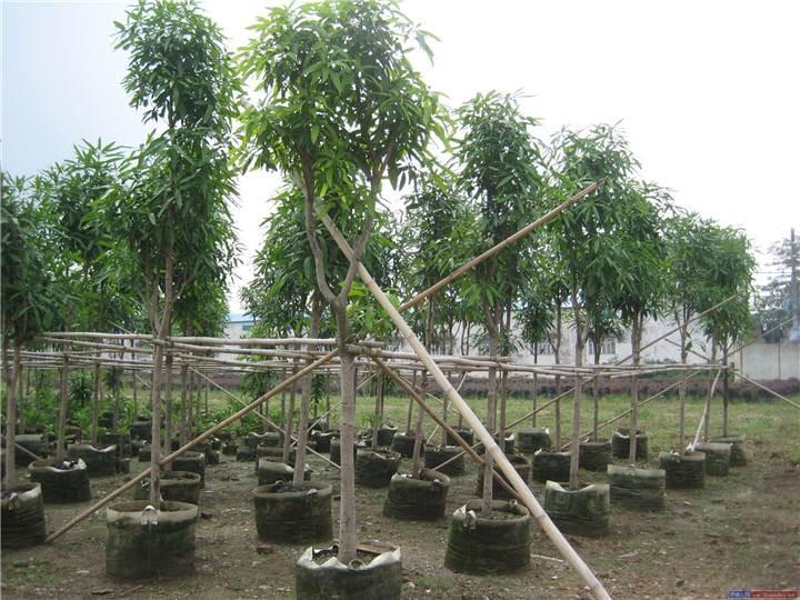 供应广西扁桃和扁桃苗 红豆杉苗与扁桃树简讯
