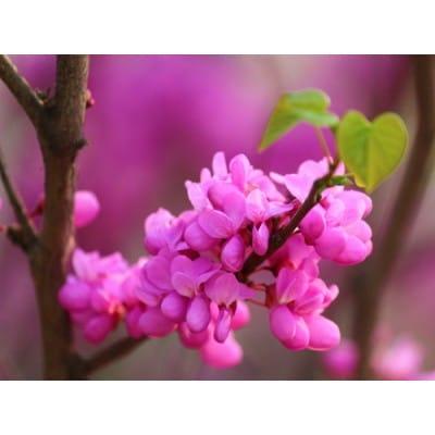 供应广西羊蹄甲总经销 宫粉紫荆和紫荆产地