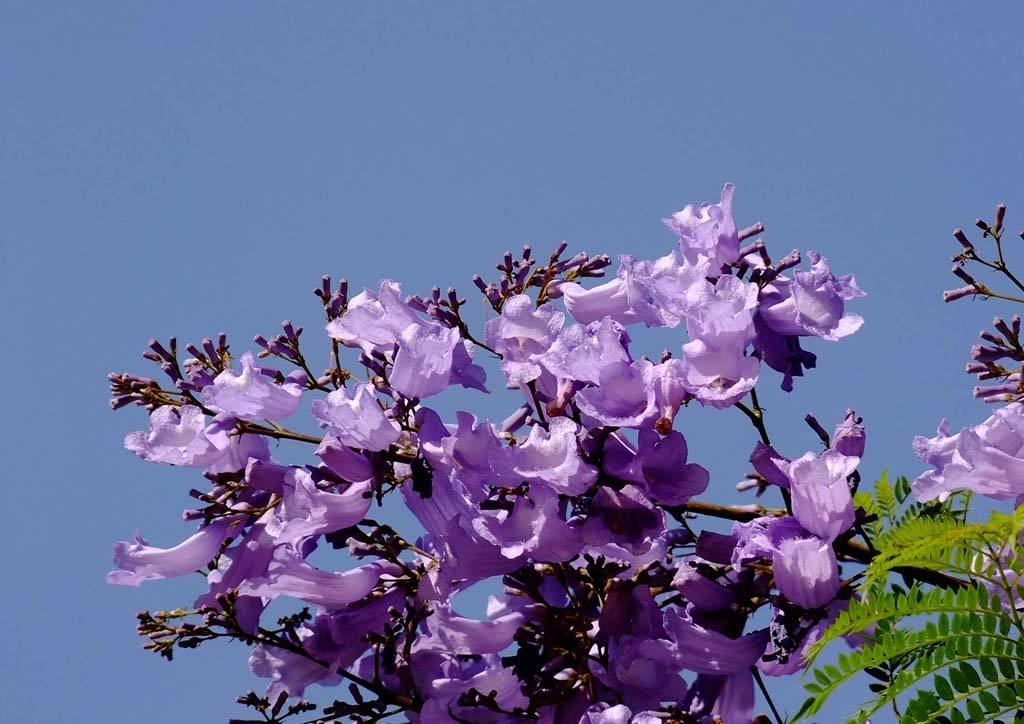 供应蓝花楹和蓝花楹苗 广西紫薇花卉部