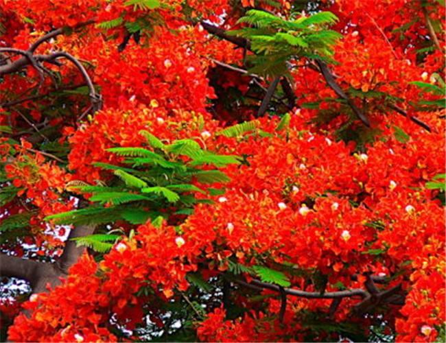 供应广西凤凰树2CM至8CM凤凰木苗和幌伞枫简讯